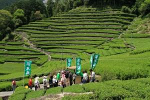 710 奥長島の段々茶畑で160115 邑写真から