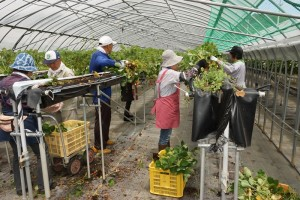 昨年の伊豆紅ほっぺいちごの収穫と農作業体験の様子(イチゴ株の抜き取りなど) JA許可