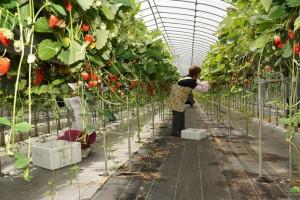 昨年の伊豆紅ほっぺいちごの収穫と農作業体験の様子 JA許可