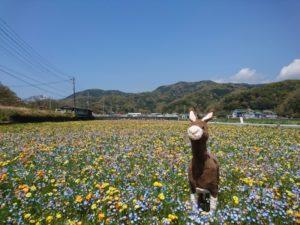 【松崎町】5/5(土)まで!田んぼをつかった花畑が見頃です!