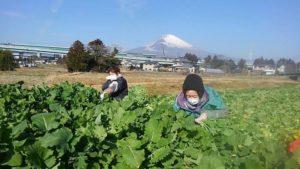 【御殿場市】水かけ菜の収穫が行われています!