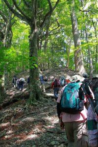 新緑のブナ林を歩く~ウツナシ峠縦走コース~