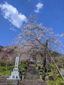 【富士宮市】桜の名所をご紹介♪