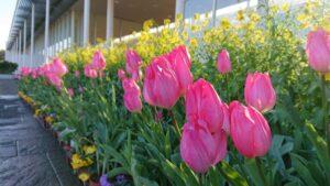 【浜松市】早春チューリップが見頃です