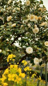 【藤枝市】玉露の里椿園 椿の花が楽しめます!